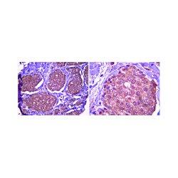 EMD Millipore - 06-1110 - Anti-TRAF6 Antibody