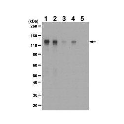 EMD Millipore - 06-1433 - Anti-phospho-FGFR-1 (Tyr653/Tyr654) Antibody