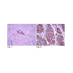 EMD Millipore - 06-574 - Anti-TrkA Antibody