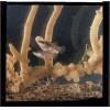 Biomarine Technologies - 878148 - GAMBUSIA AFFINIS PKG/6 (Pack of 6)