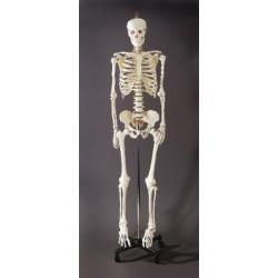 Lab Connections - B3350-25 - Economy Skeleton Economy Skeleton (Each)