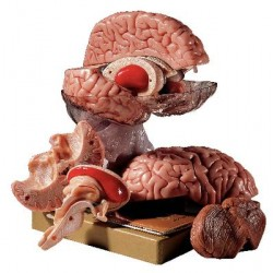 Marcus Sommer - Bs 25 - Model Comprehensive Brain (each)