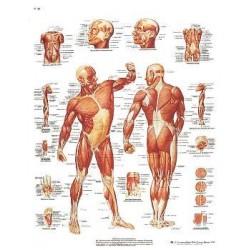 3B Scientific - VR1113L - 3B Vascular System Chart Vascular System Chart Laminated (Each)