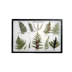 White Owl - 671156 - Common Fern Frond Set Rkr Mt 21 X 14 (each)