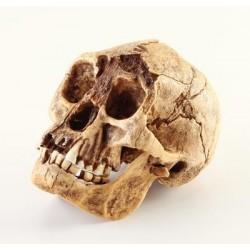 Bone Clones - BH-033 - Homo Floresiensis Skull Homo florsiensis Skull (Each)