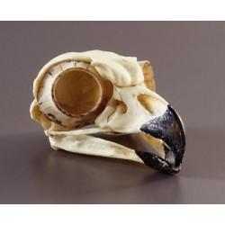 Bone Clones - Bc-072 - Model Skull Great Horned Owl. (each)