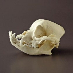 Bone Clones - Bc-128 - Model English Bulldog Skull. (each)