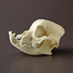 Bone Clones - Bc-128 - Model English Bulldog Skull. (each)