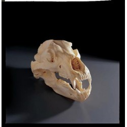 Bone Clones - Bc-021 - Model Grizzly Bear Skull. (each)