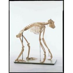 Marcus Sommer - ZOS 53/110 - SOMSO Chimpanzee Skeleton SOMSO Chimpanzee Skeleton (Each)