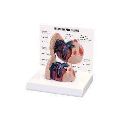 Christensen Educational Materials - 9141-PACKOF1 - MODEL FELINE HEART/LUNG (Pack of 1)