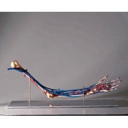 Matrix Scientific - Zkj-688-e - Model Vascular Arm (each)