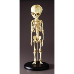 Bone Clones - Sc-181-a - Model Fetal Skeleton Teaching Quality. (each)