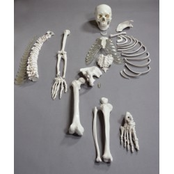 Altay Scientific - 6042.06 - Altay Disarticulated Half Skeleton Altay Disarticulated Half Skeleton (Each)