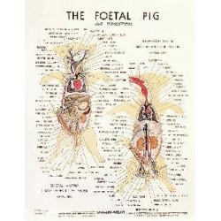Learning Lab - 7274Z - Fetal Pig Chart Fetal Pig Chart (Each)