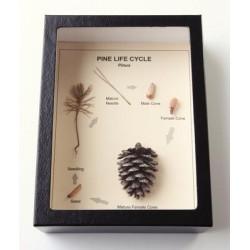 White Owl - R148 - Pine Life History Riker Mount (each)