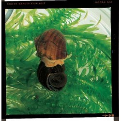 Waterscapes Aquatic Nursery - 874120 - LM MYSTERY SNAILS PK/6 POMACEA BRIDGESI (Pack of 6)
