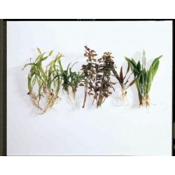 Waterscapes Aquatic Nursery - 867510 - Live Amazon Sword Plant (echinodorus (each)