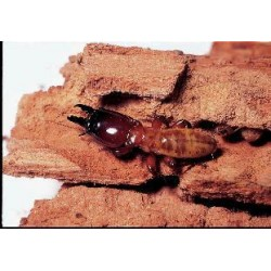 Niles Biological - 876160 - TERMITES PKG/30 (ZOOTERMOPSIS) (Pack of 30)