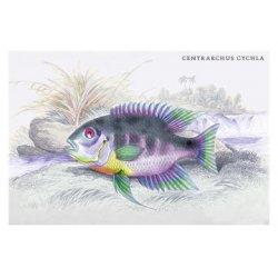 Buyenlarge - 09163-0CG12 - Centrarchus Cychla 12x18 Giclee on canvas