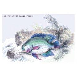 Buyenlarge - 09168-1CG12 - Centrarchus Cyanopterus 12x18 Giclee on canvas