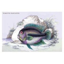 Buyenlarge - 09169-XCG12 - Pometis Fasciatus 12x18 Giclee on canvas