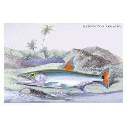 Buyenlarge - 08984-9CG12 - Hydrocylon Armatus 12x18 Giclee on canvas