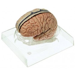 Marcus Sommer - Bs 23/3 - Model Brain With Duramatter (each)